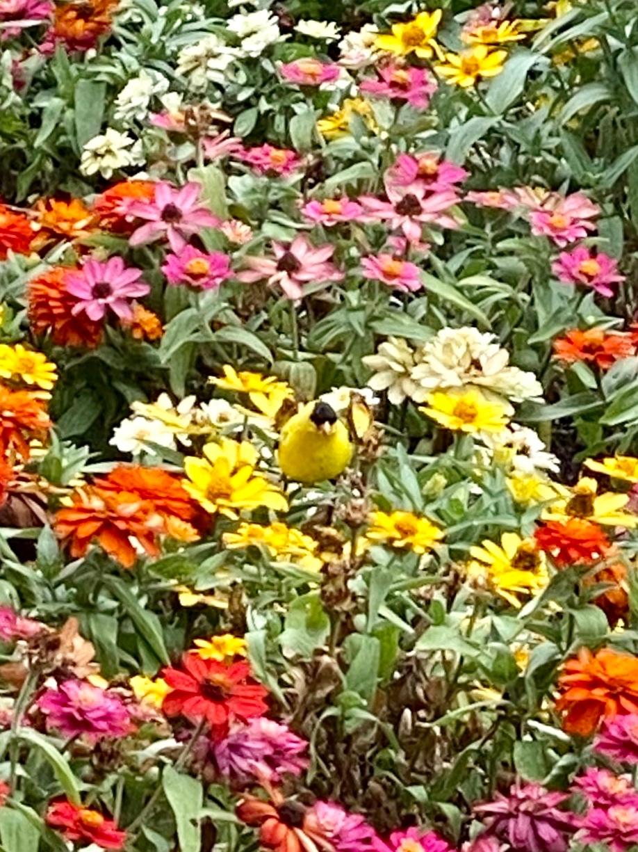 Goldfinch Sitting Pretty