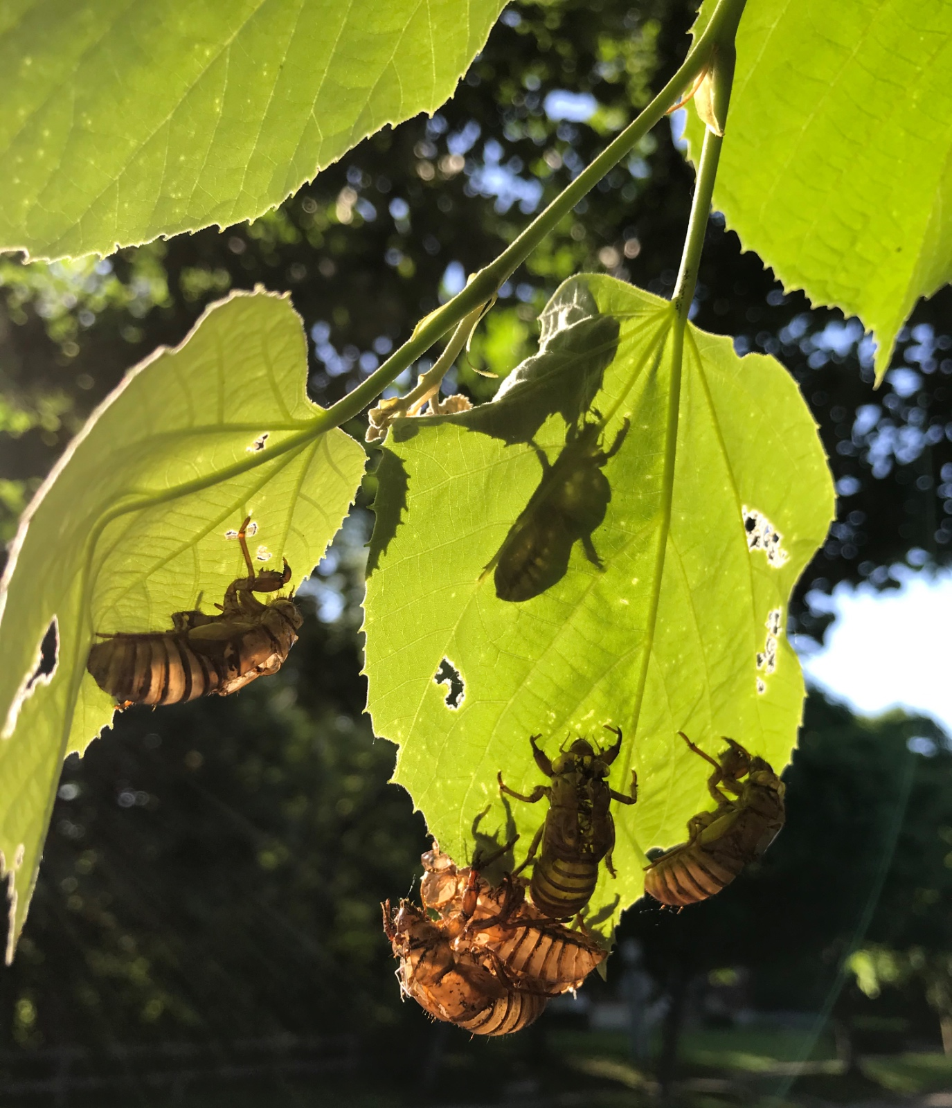 Eclosion Explosion (Cicada Nymph Skins)