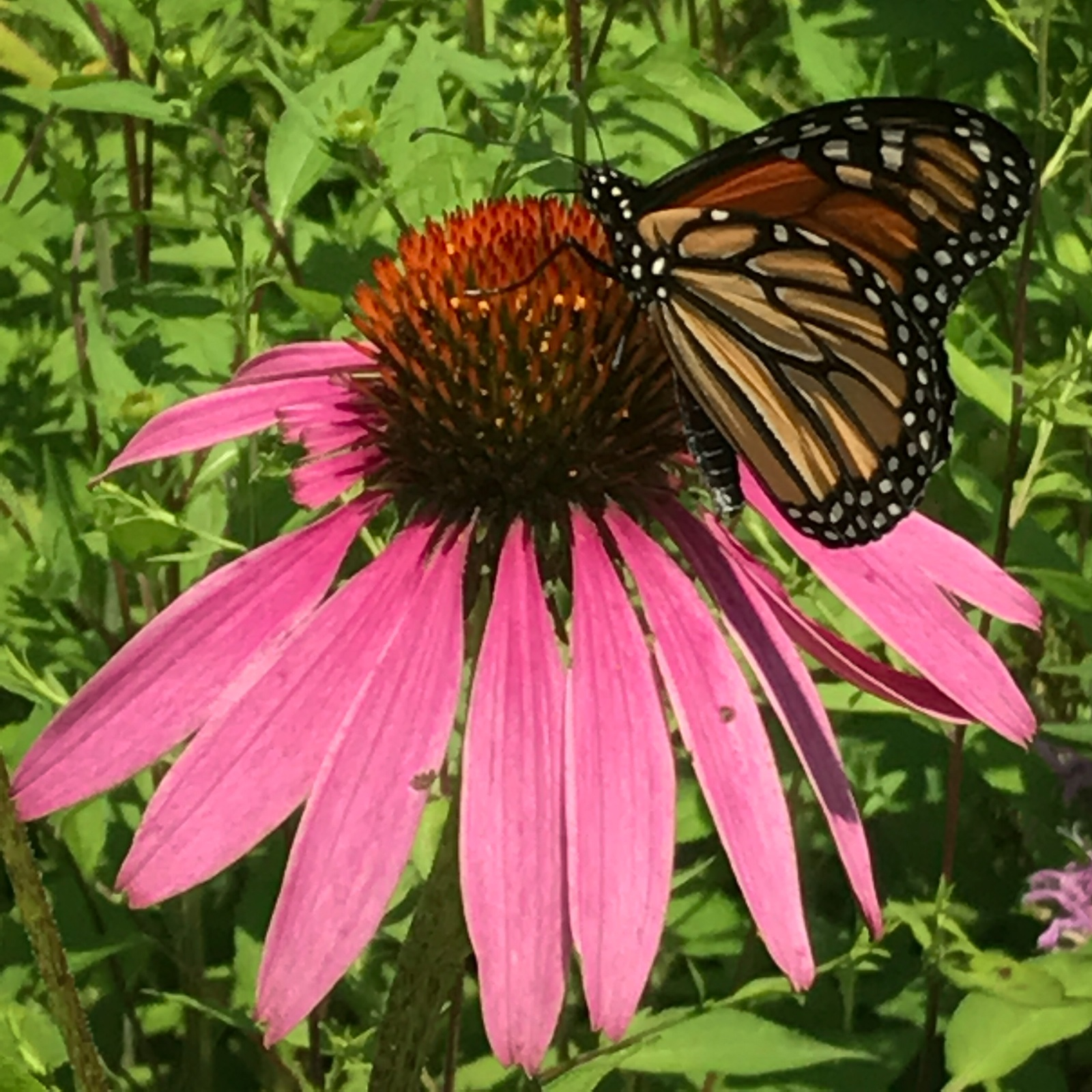 Coneflower and Friend