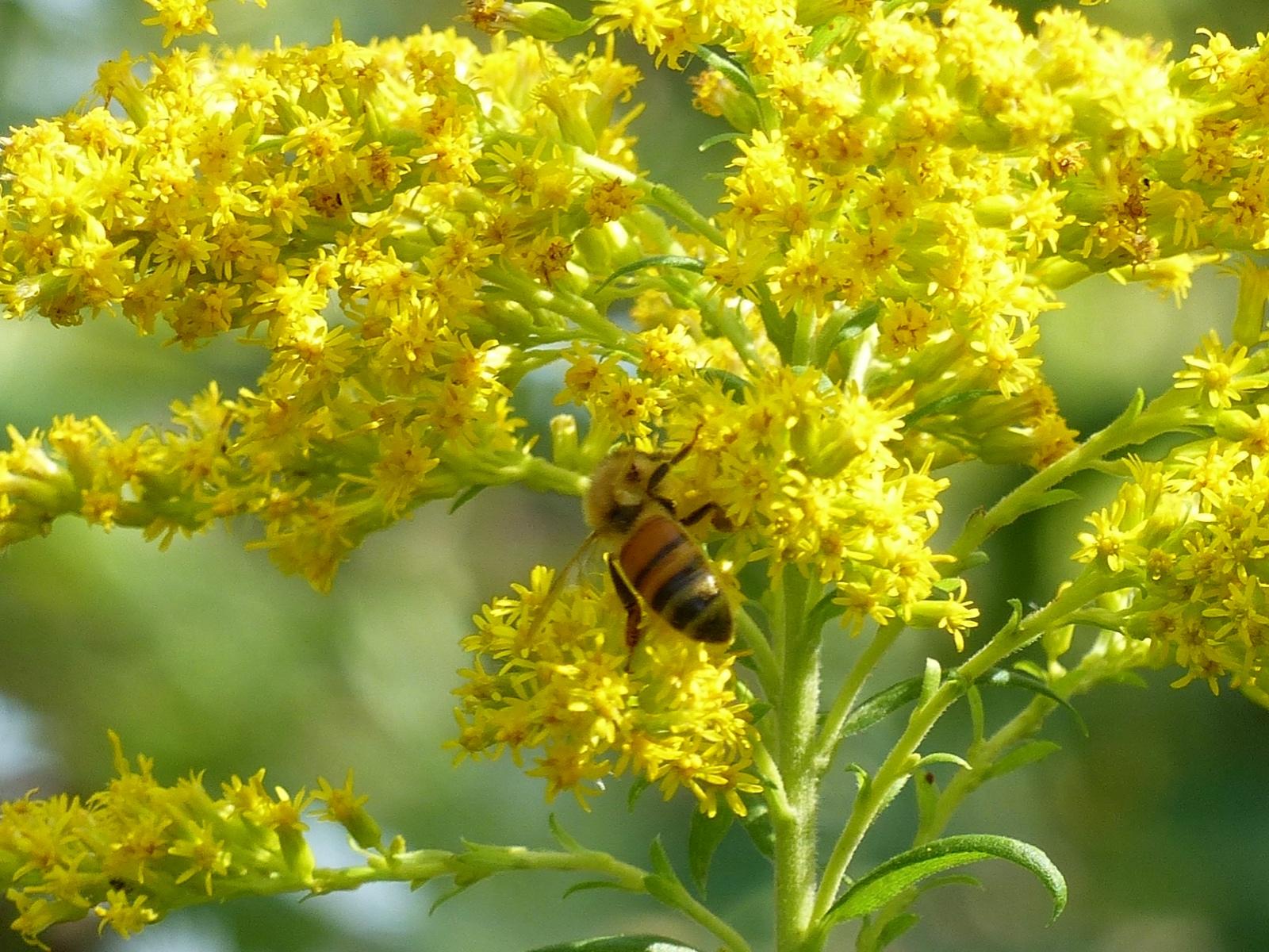 Bee On Golden Rod