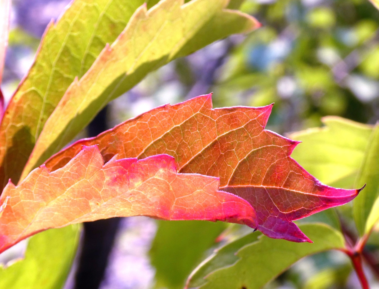 Eagerness for Fall Color