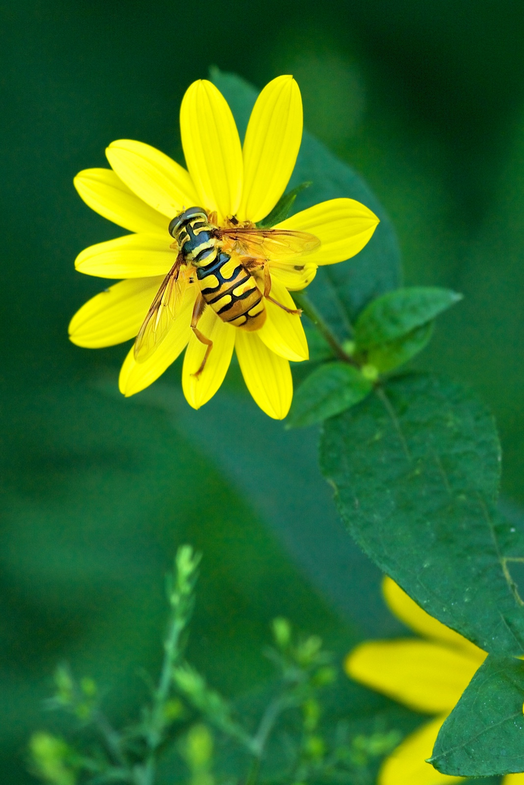 A hover fly – a fly that looks like a bee!
