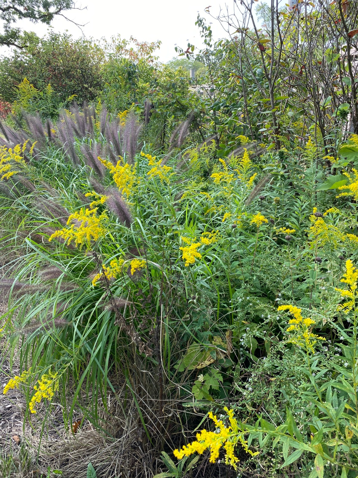 Beautiful mix of golden rod and grasses