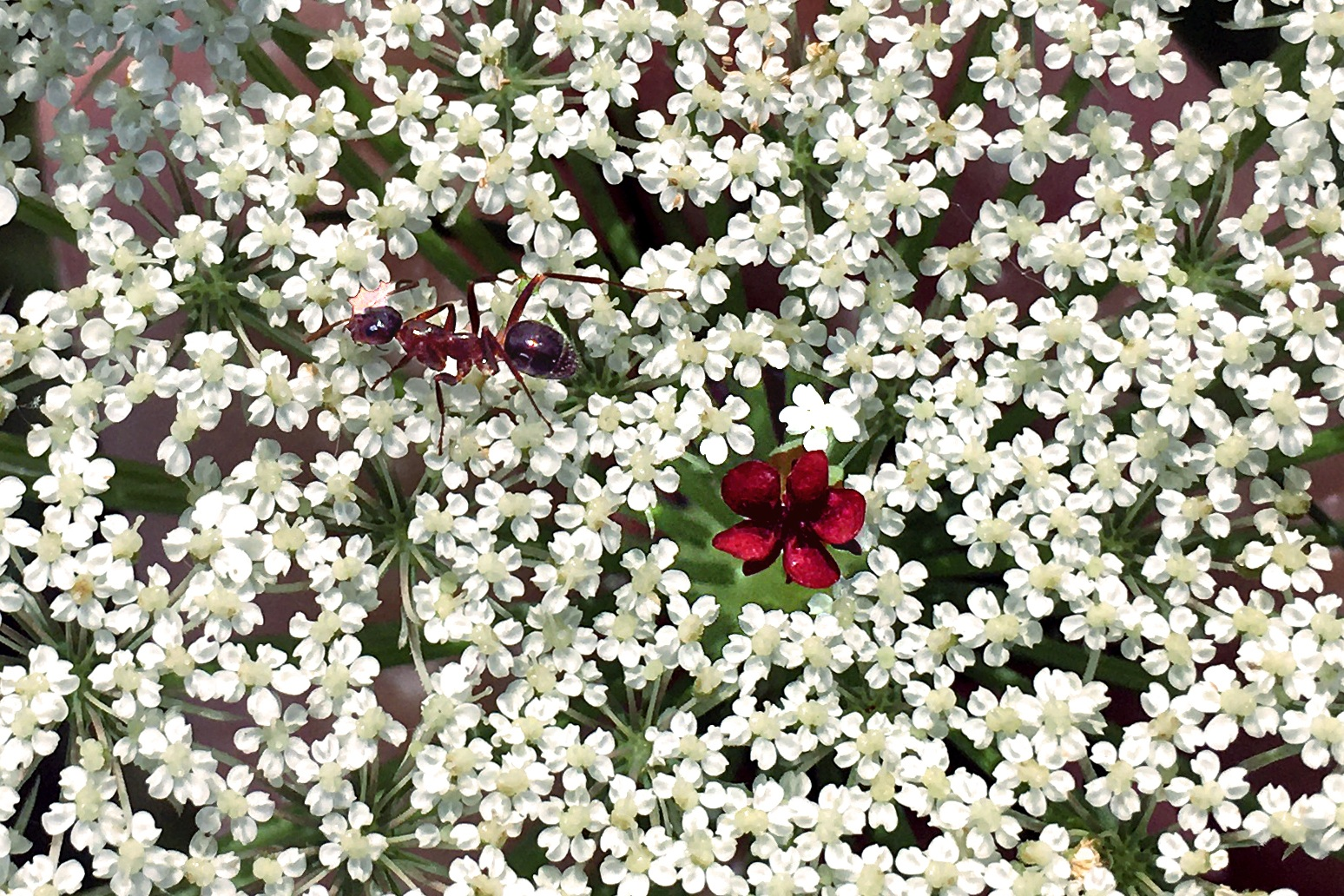 An Ant Rests in a Queen Anne's Lace Bed