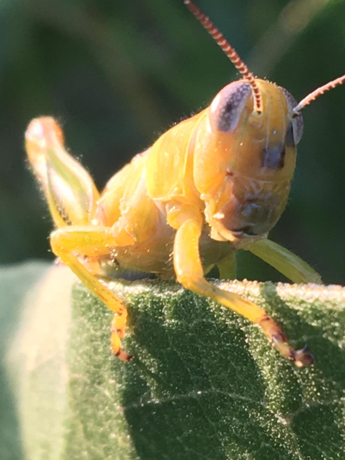 Grasshopper resting on a milkweed leaf.