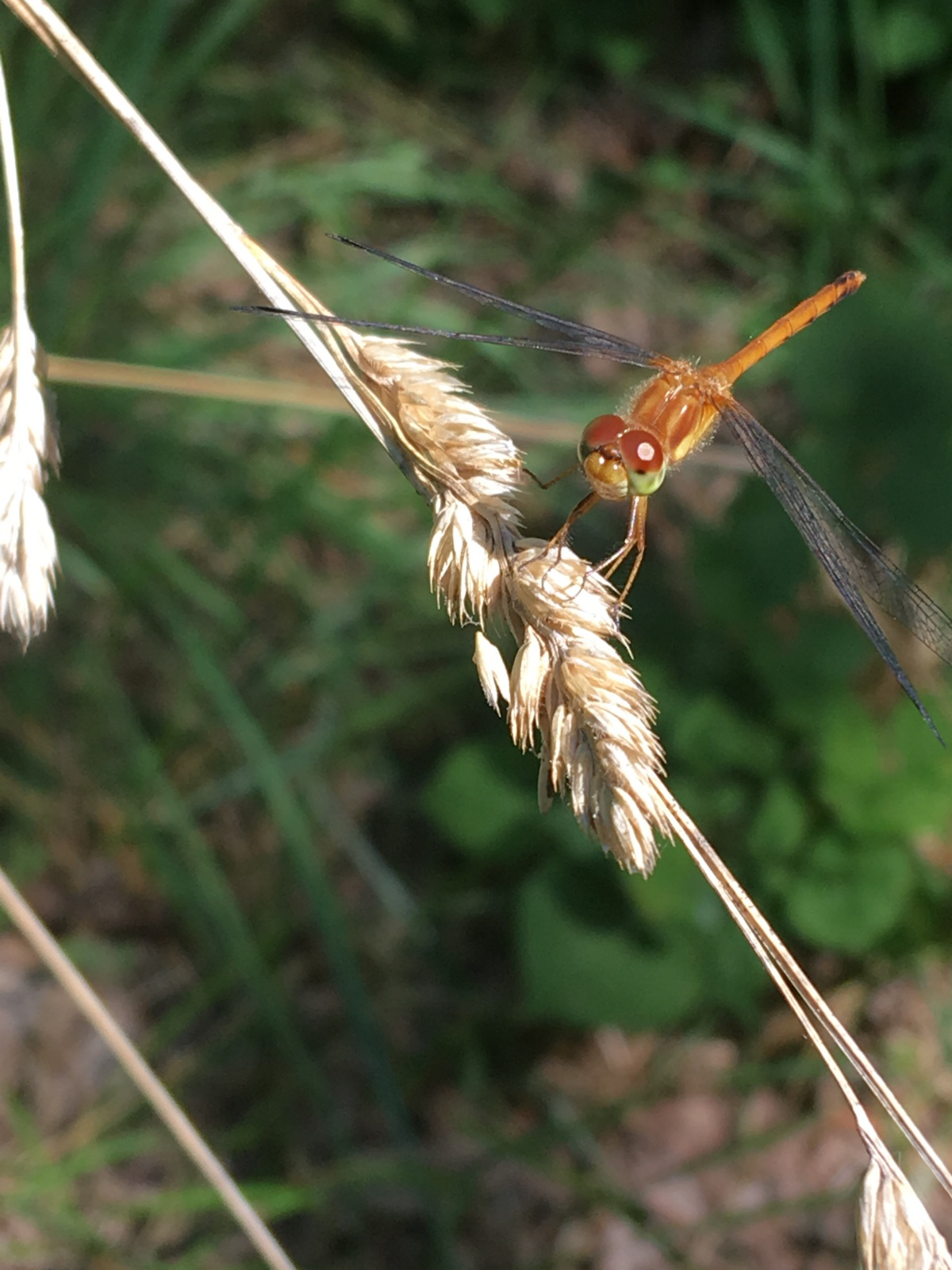 Dragonfly resting on a piece of grass