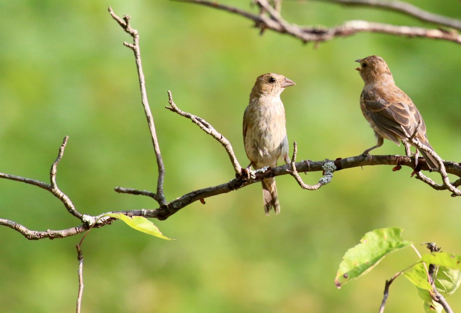 Birds in Conversation